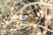 One blue jay, Cyanocitta cristata, bird perched on tree branch in sunny colorful spring in Virginia, aerial looking down