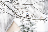 One blue jay, Cyanocitta cristata, bird sitting perching distant far on oak tree branch during winter covered in snow in Virginia with blurry background of house