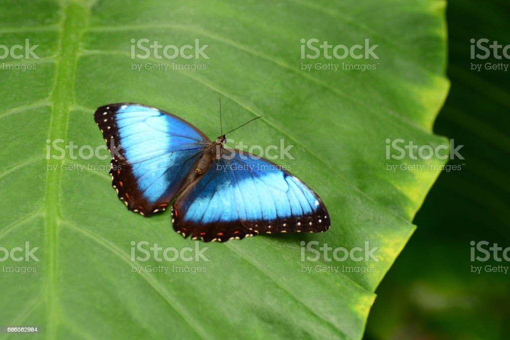 One Blue morpho butterfly with spread wings resting on Taro royalty-free stock photo