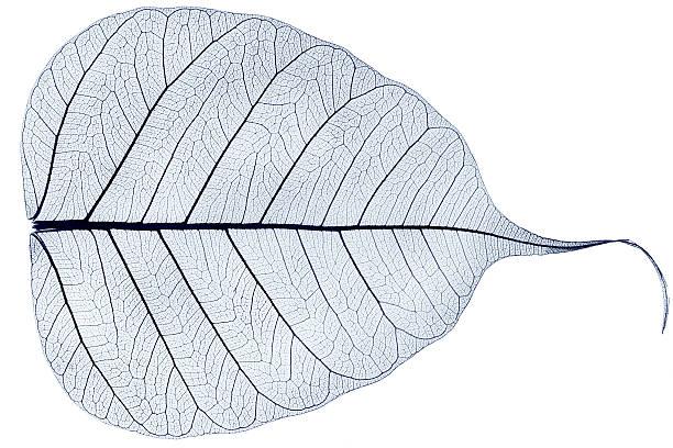 one blue transparent dried fallen leaf stock photo