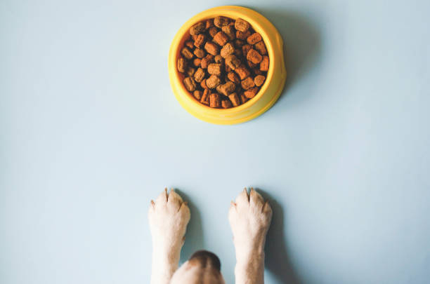 One bowl of yellow color with food and paws with a dog face. One yellow bowl with pet food. Nearby looks muzzle and paws of a beagle breed dog. paw stock pictures, royalty-free photos & images