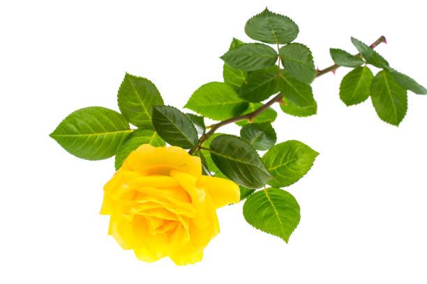 une branche de rose fleur jaune isolé sur fond blanc - objet jaune photos et images de collection