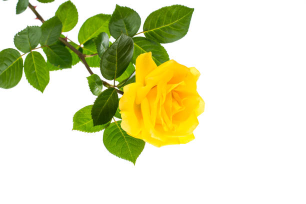One branch of blooming yellow rose isolated on white background picture id816311328?b=1&k=6&m=816311328&s=612x612&w=0&h=lwq523kk0ev 28dvh3302yboizu8dcutktcsau836og=