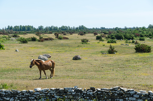 istock One brown horse in the great plain area Alvaret at the island Oland in Sweden 1167213406