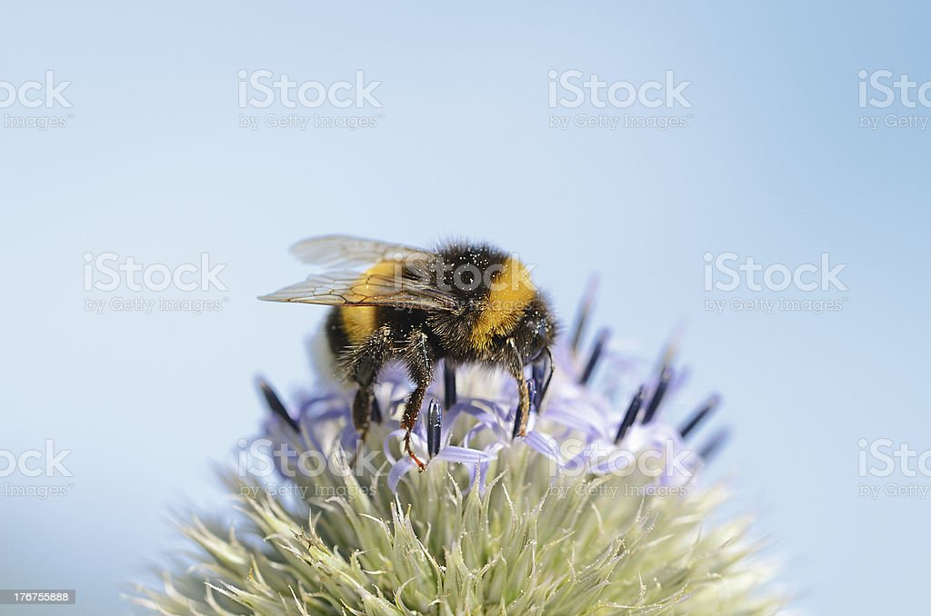 One bumblebee on globe thistle flower head against sky royalty-free stock photo