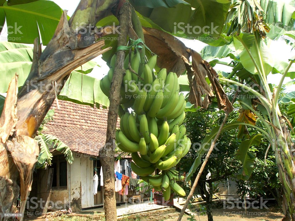 One bunch of banana on the tree stock photo