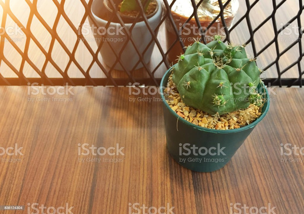 One cactus in plastic pot on wooden table.dessert cute flowers botany stock photo
