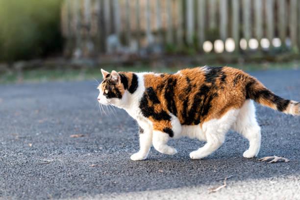 eine glückskatze außerhalb jagd, zu fuß auf gepflasterten gehweg, bürgersteig, neugierig vor oder hinterhof von wohnung oder haus mit zaun, trockenes herbstlaub - suche katze stock-fotos und bilder