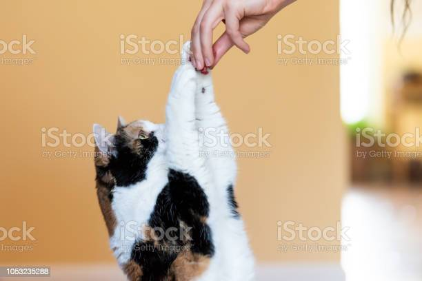 One calico cat standing up on hind legs begging picking asking food picture id1053235288?b=1&k=6&m=1053235288&s=612x612&h=f7 zszsrbva3r7tkdy6r4bae88qrauc47zzencxf8pm=