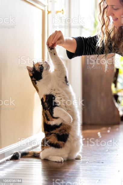 One calico cat standing up on hind legs begging picking asking food picture id1053235784?b=1&k=6&m=1053235784&s=612x612&h=ukp2uigl7dcly3kuc1bisbcglbq12q9uayhw7tjtzvk=