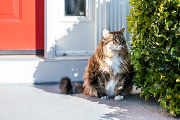 One calico maine coon cat sitting outside by red door hiding behind picture id994795942?b=1&k=6&m=994795942&s=612x612&w=0&h=rbqqkorm3dhzl snpygwzwhjplyp56816jayxee0omw=