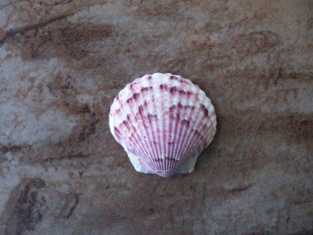 One Calico Scallop seashell stock photo