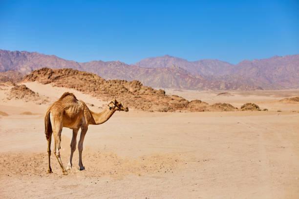 Ein Kamel bleibt auf einem Wüstenland mit blauem Himmel im Hintergrund. – Foto