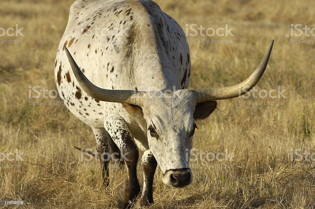 One Charging Texas Longhorn Bull royalty-free stock photo