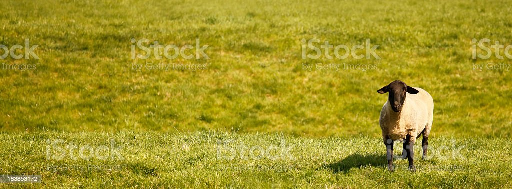 one cheep on grass with copyspace stock photo