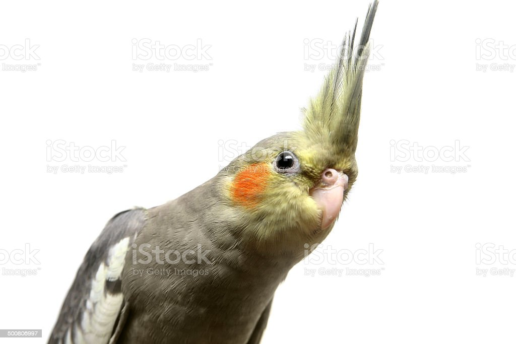 One cockatiel parakeet baby stock photo