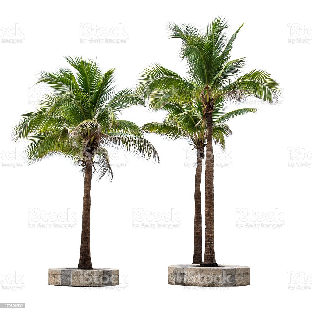 One coconut tree on a block next to two coconut trees stock photo