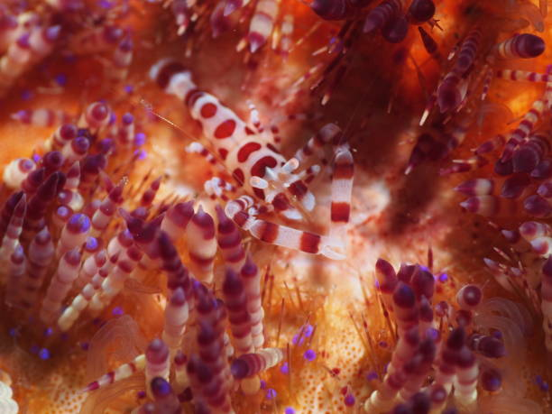 One coleman's shrimp on top of colorful fire urchin stock photo