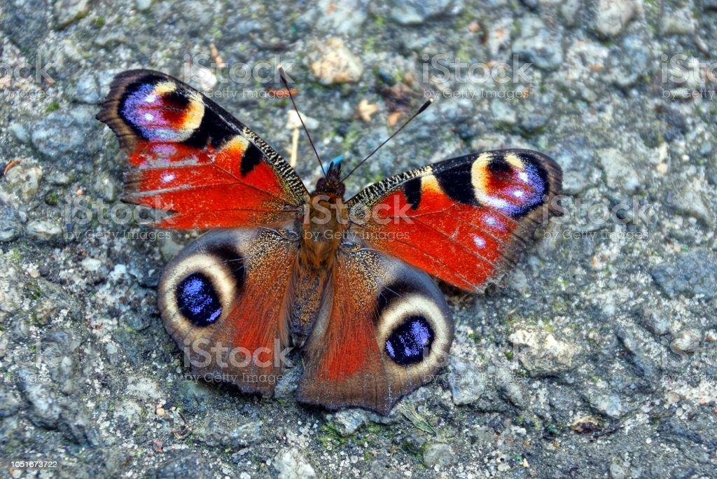 uma borboleta cor senta-se em uma estrada de asfalto cinza - foto de acervo