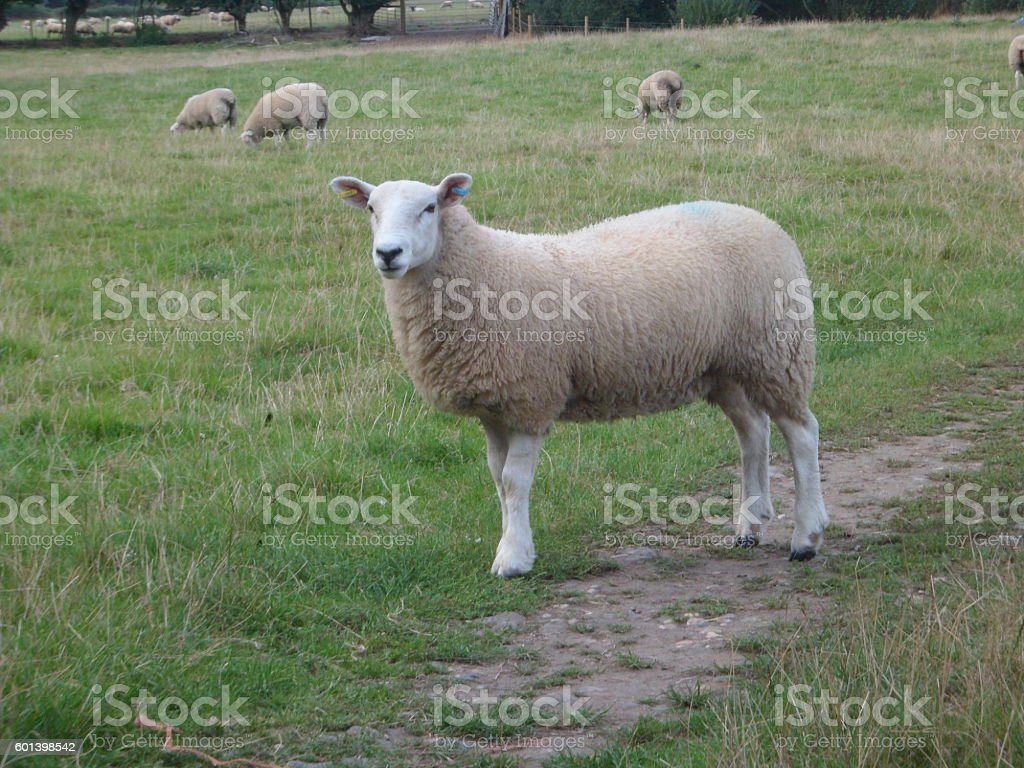 One common farm sheep stock photo