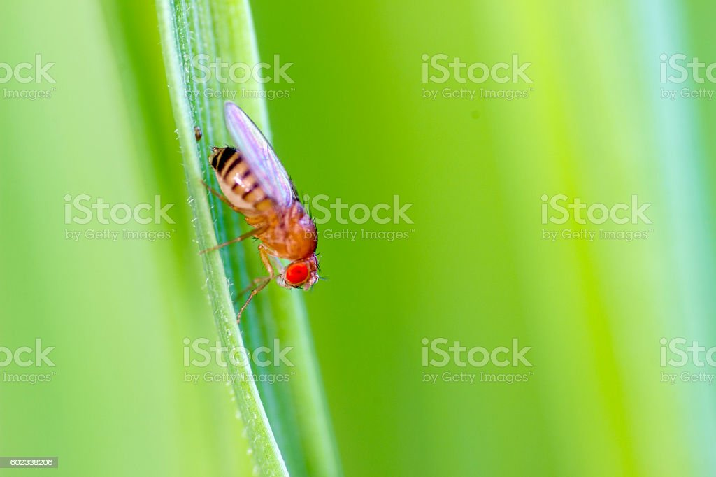 One common fruit fly stock photo