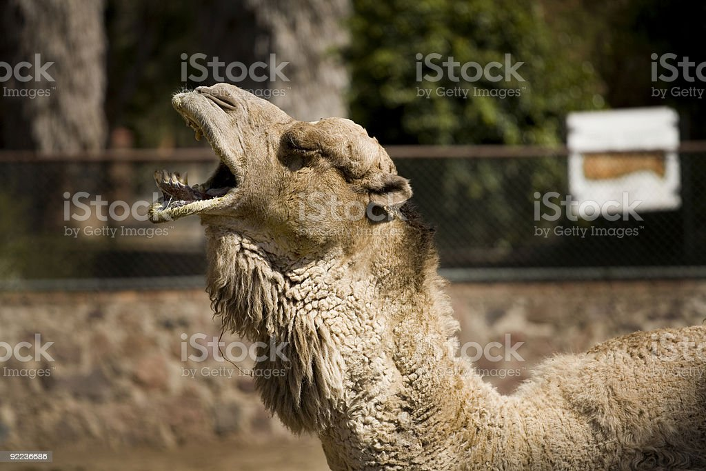 One Cool Camel stock photo
