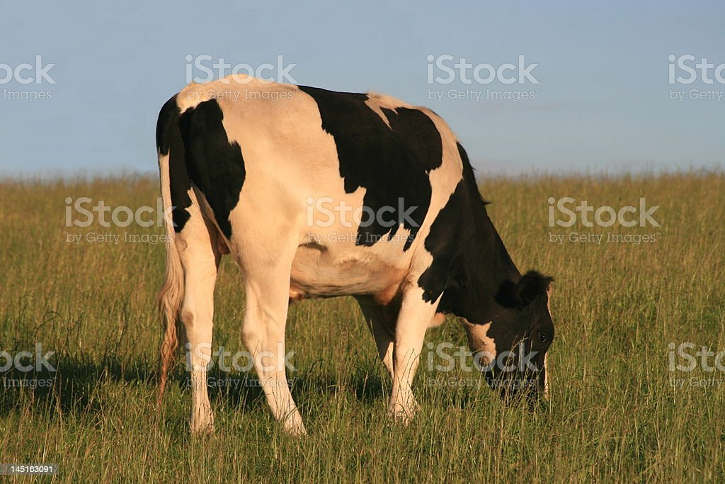 One cow grazing. royalty-free stock photo