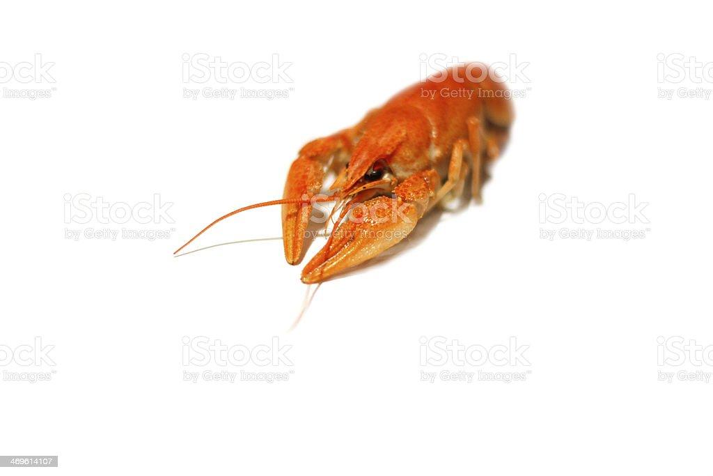 One crawfish on white background royalty-free stock photo