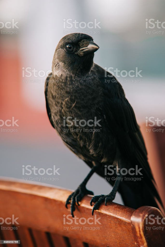 one crow in the city stock photo