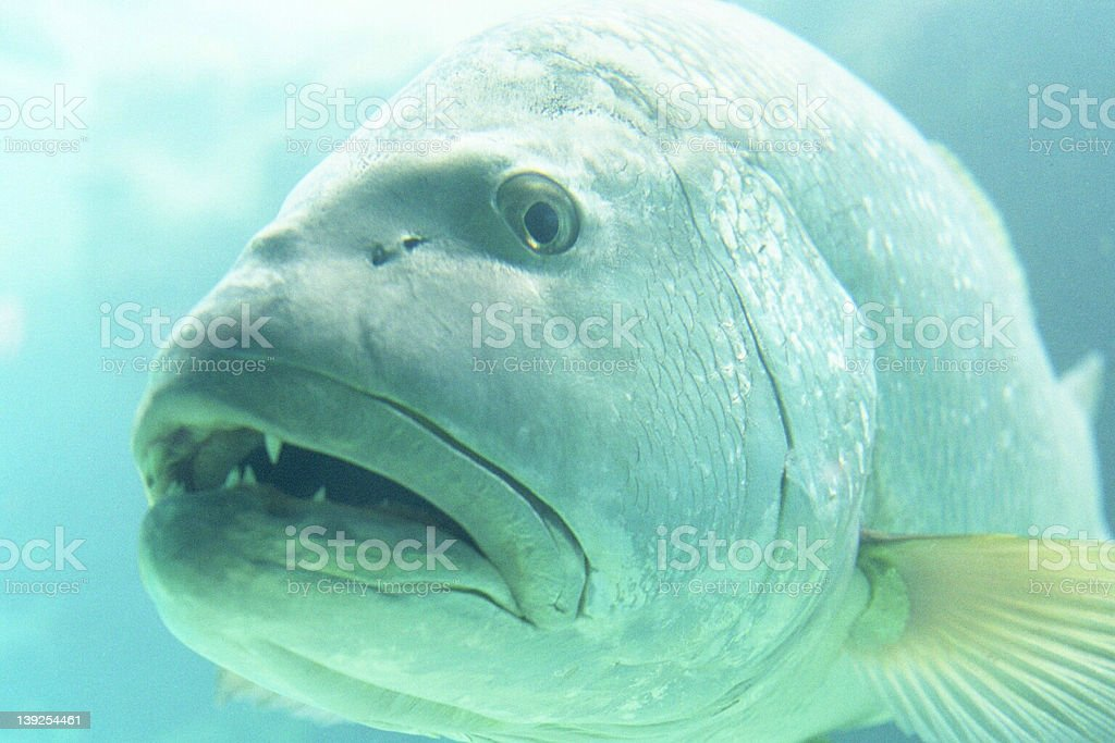 One curious grouper royalty-free stock photo
