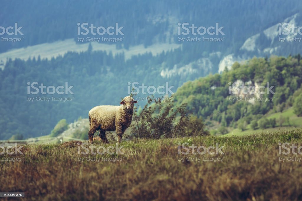 One curious stray sheep stock photo