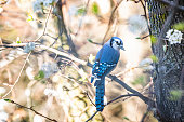 One cute adorable coy blue jay, Cyanocitta cristata, bird perched on tree branch in sunny colorful spring in Virginia