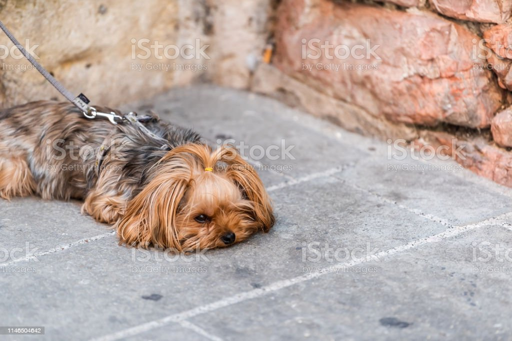 One cute adorable sad dog face tired animal lying down with leash...