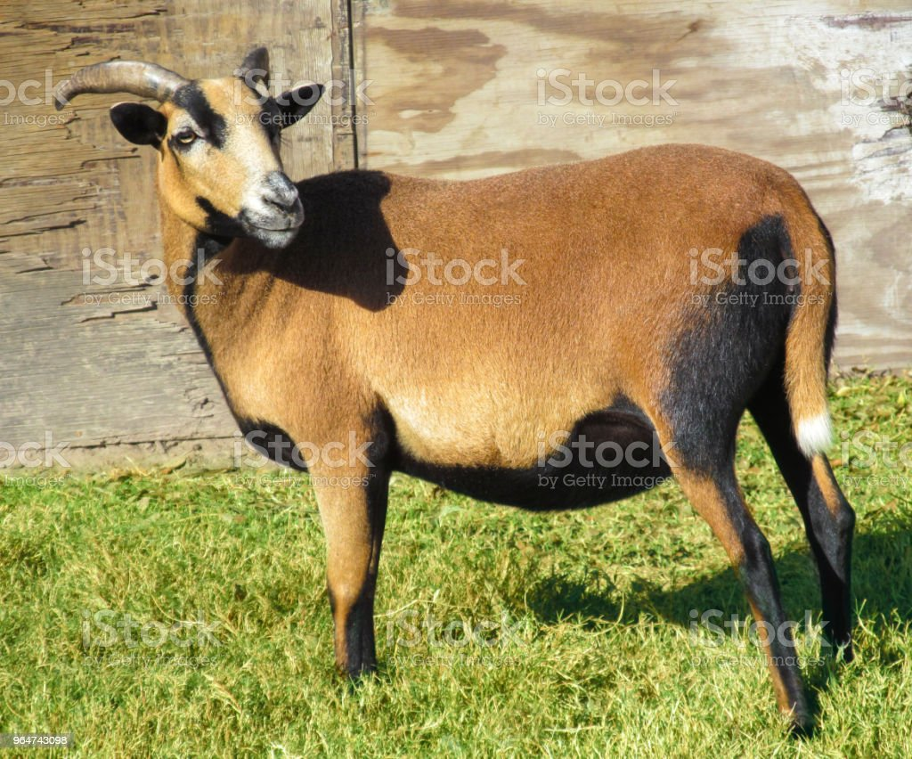 One cute goats female (Texan sheep) on a Texas ranch. royalty-free stock photo
