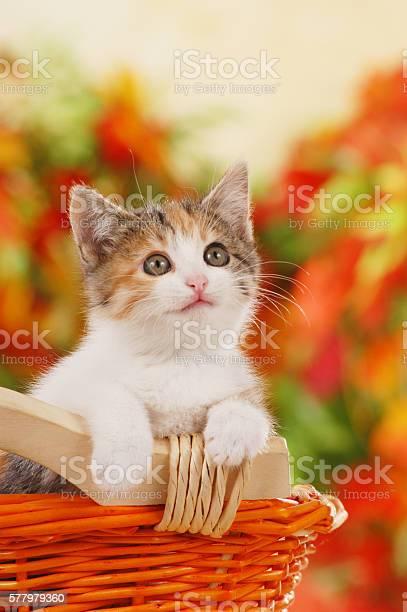 One cute kitten sitting in a basket picture id577979360?b=1&k=6&m=577979360&s=612x612&h=mikwx9vkjctpsizvaqe6y5b7izotkenktvrfdu9pn3w=