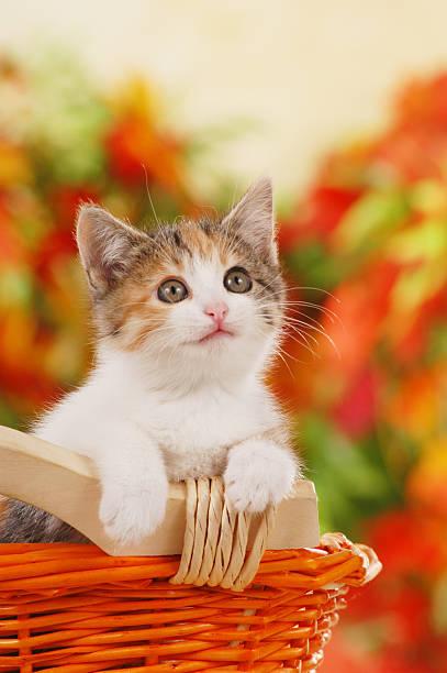 One cute kitten sitting in a basket picture id577979360?b=1&k=6&m=577979360&s=612x612&w=0&h=yx8fxaw0c 2jqusqtzp00rq8wh swftqwtqg67noadk=