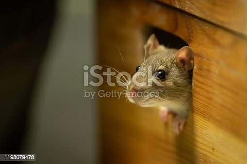 One cute rat looking out of a wooden box