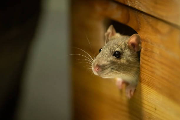 One cute rat looking out of a wooden box One cute rat looking out of a wooden box rodent stock pictures, royalty-free photos & images