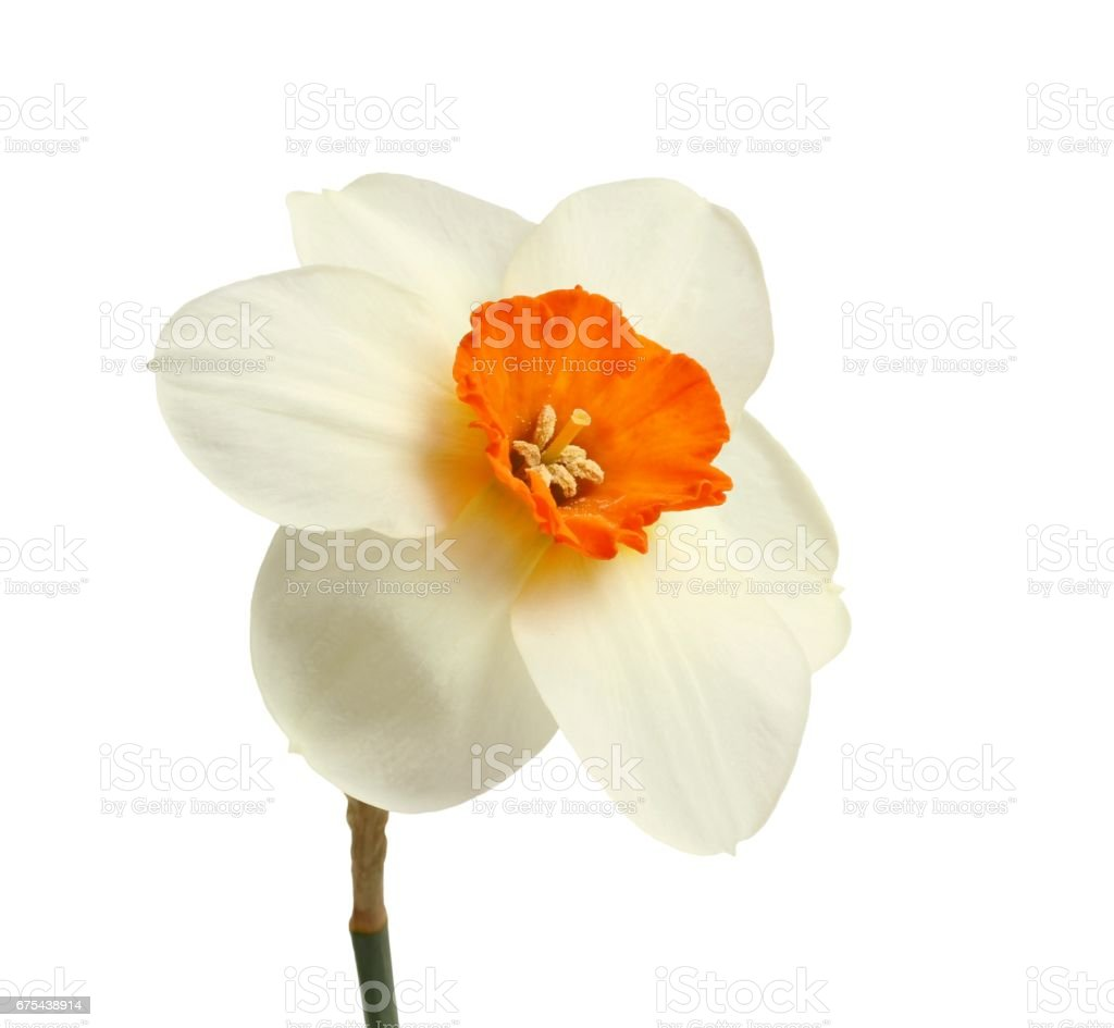 One daffodil isolated on white background. Closeup photo libre de droits