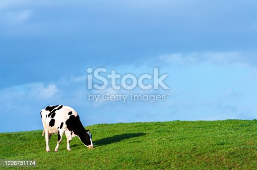 A black and white dairy cow grazing on the side of a small hill in early evening sunshine. After a period of rain the grass is a lush green. The location of the field is in rural Dumfries and Galloway, south west Scotland. One of the main employers in this region of Scotland is agriculture.
