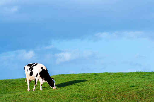 A black and white dairy cow grazing on the side of a small hill in early evening sunshine.\nAfter a period of rain the grass is a lush green.\nThe location of the field is in rural Dumfries and Galloway, south west Scotland.\nOne of the main employers in this region of Scotland is agriculture.