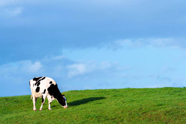 One dairy cow grazing in a Scottish field with lush green grass in early evening stock photo
