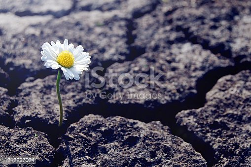 One daisy flower sprouts through dry cracked soil