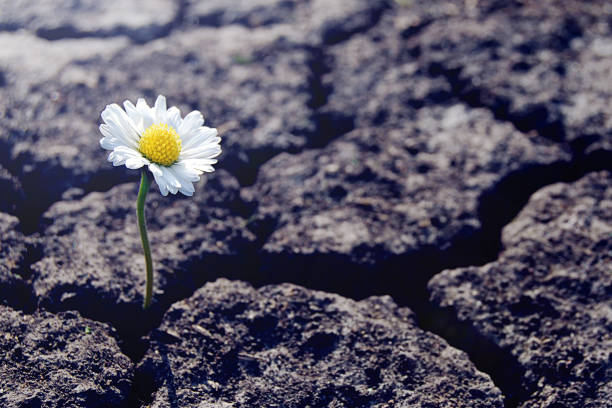 One daisy flower sprouts through dry cracked soil One daisy flower sprouts through dry cracked soil revival stock pictures, royalty-free photos & images