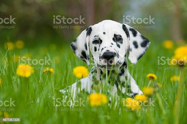One dalmatian puppy in a field with yellow flowers picture id467082005?b=1&k=6&m=467082005&s=612x612&h=b0dfx0snympfp 6maptyfpqafgpvwmus1kbpfj7rhlc=
