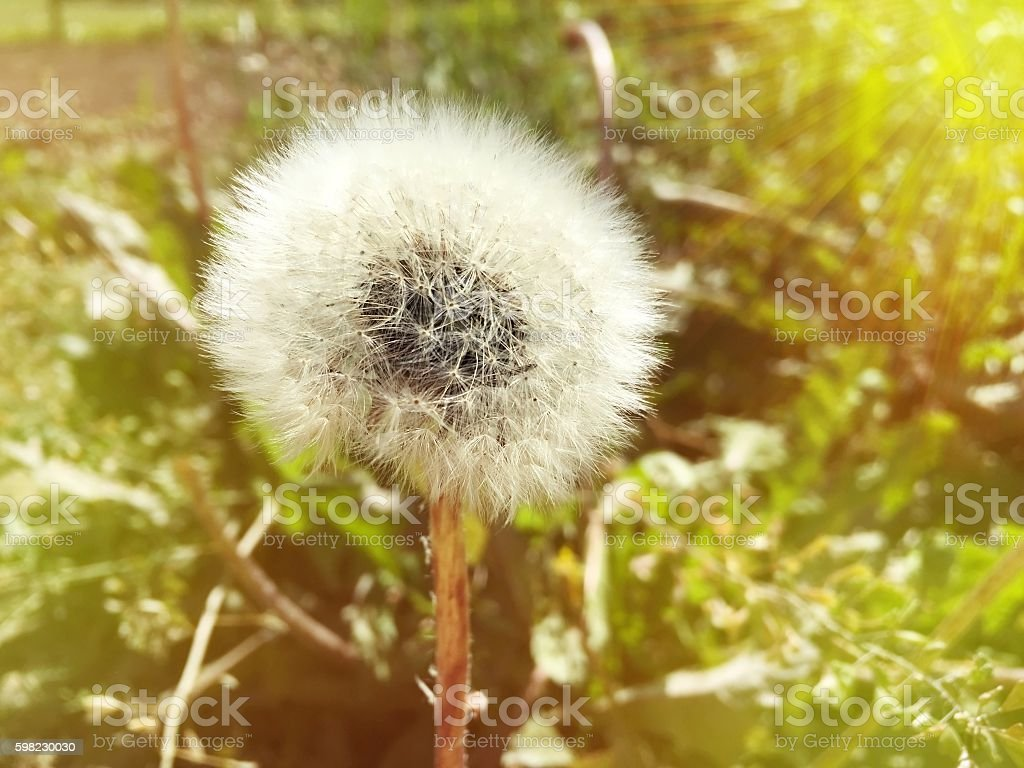 One dandelion on blurred background with sun ray effect foto royalty-free