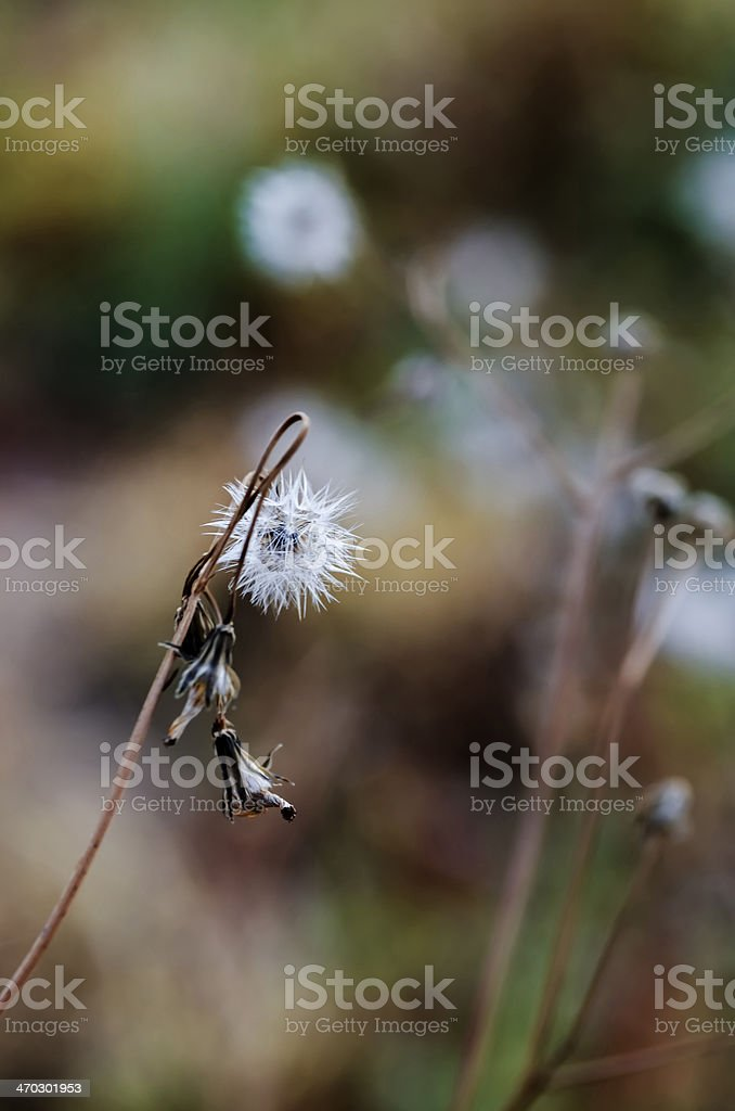 one dandelion with its withered leaves stock photo