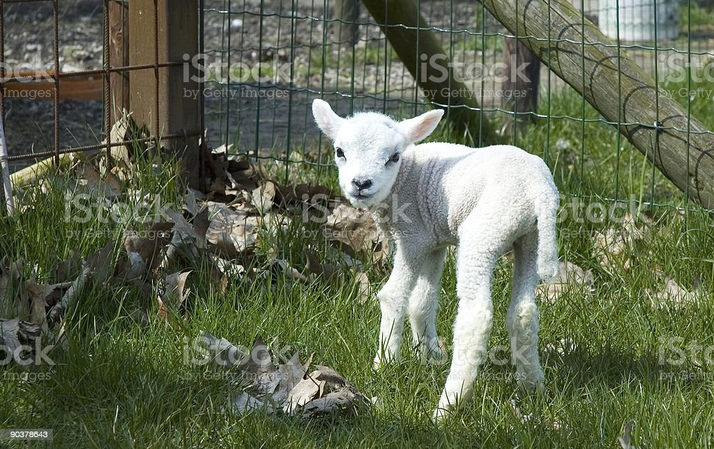 One day old baby lamb in the sun. royalty-free stock photo