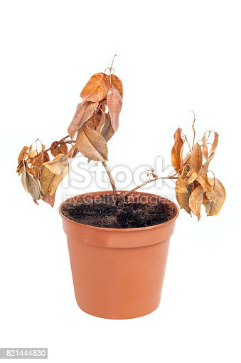 One dead plant in pot isolated on white background