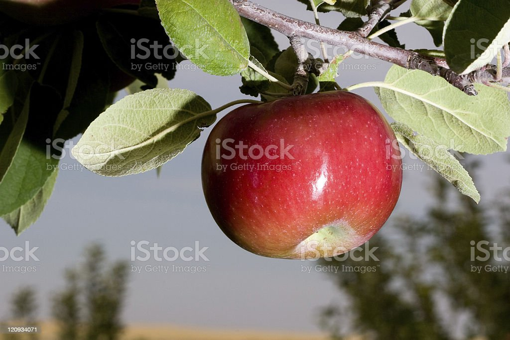 One Delicious Apple on the Tree royalty-free stock photo